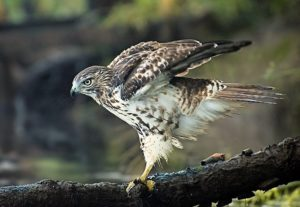 53-h-lord-wildlife-redtail