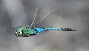 Green Darner © Herb Lord