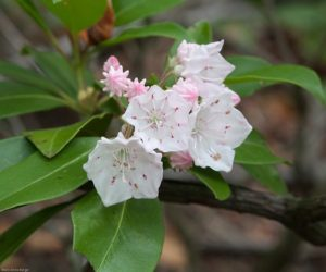 Mountain Laurel on the Bluffs © Mary Anne Borge