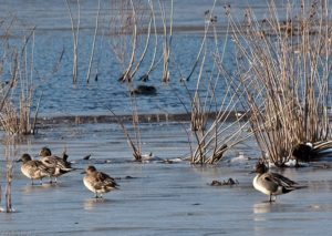 Winter - Northern Pintails © Mary Anne Borge