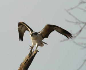 Osprey © Terri VanKirk