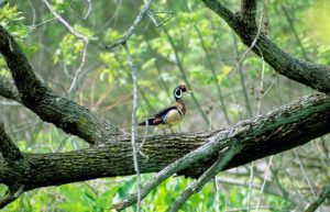Wood Duck in North Marsh © Mary Anne Borge