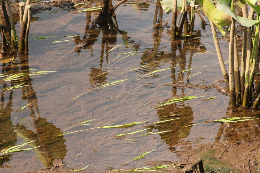 Wild Rice seedlings
