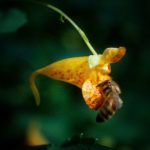 Jewelweed flower with honey bee.