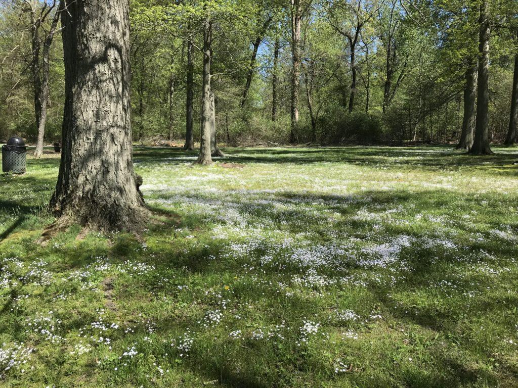 Watson Woods Bluets