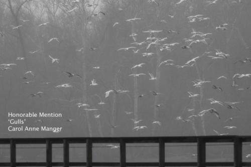 13 A W MangerC Gulls
