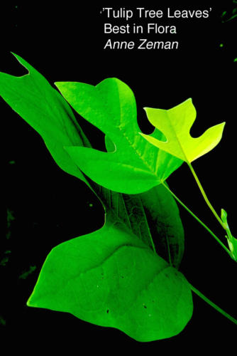 3 ZemanA. TulipTreeLeaves