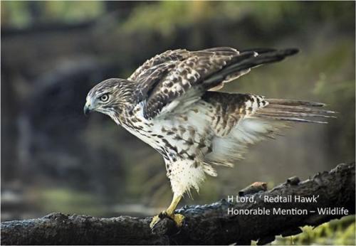 9-lord-hawk